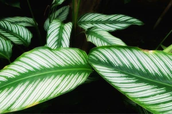 striped plant