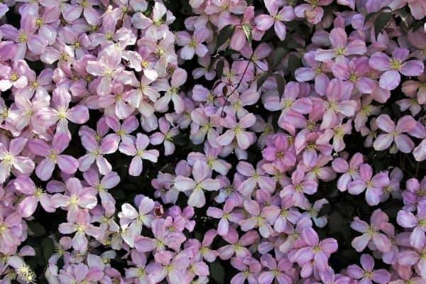 Pink perennial clematis