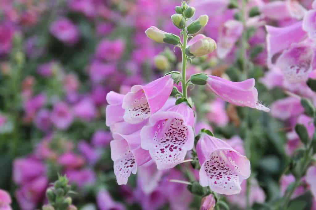 Pink foxglove flowers