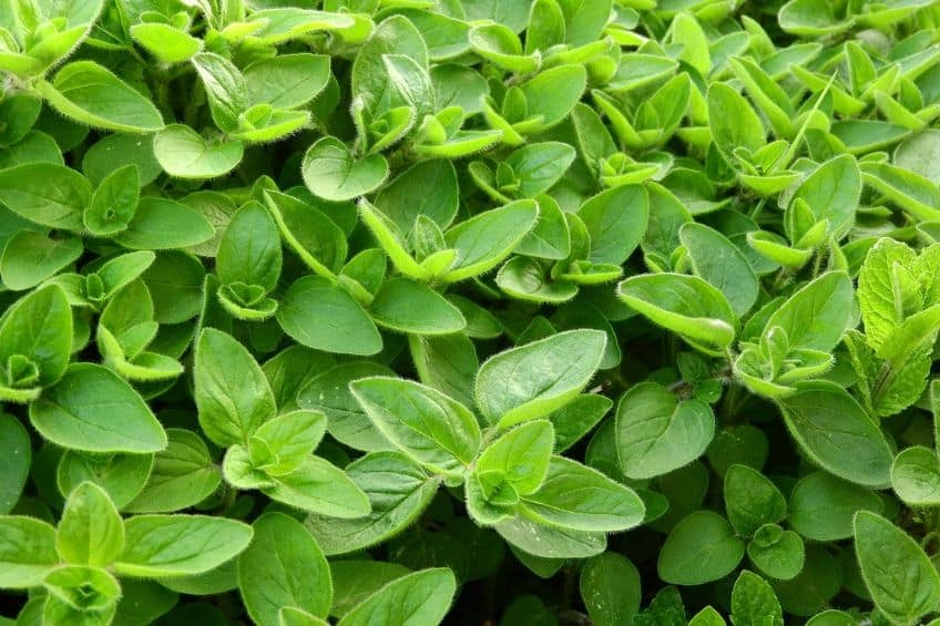 Marjoram herb