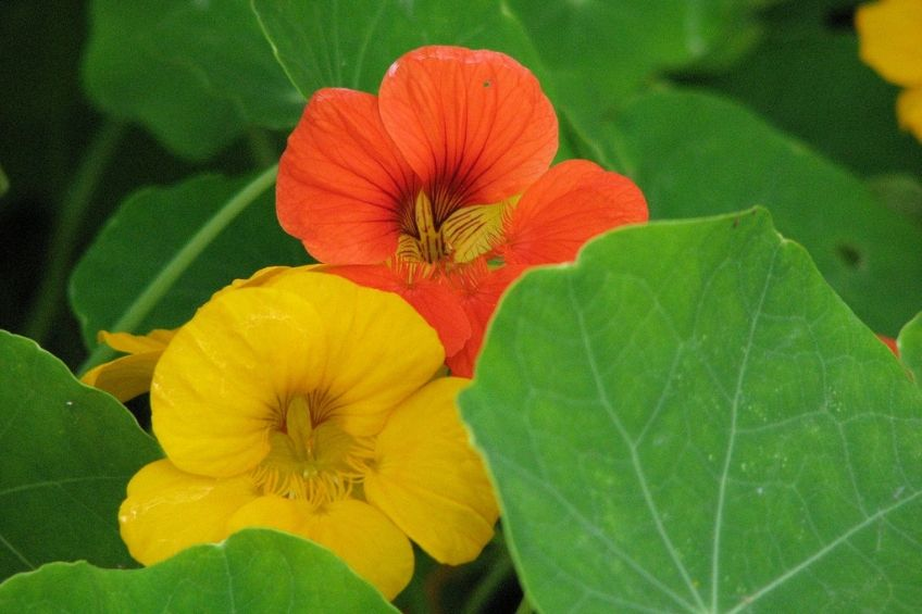 4 Easy Facts About Where Do Nasturtium Seeds Come From Shown
