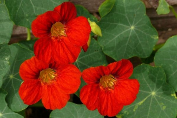 Nasturtiums growing in garden