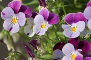 5 Winter Flowering Annuals