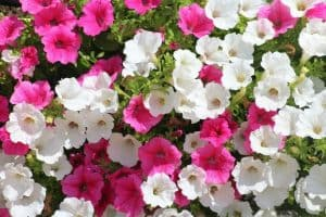 10 Easy Annuals To Grow From Seed