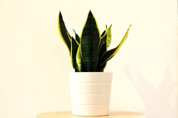 Sanseviera plant