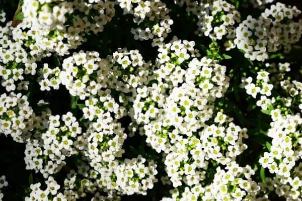Sweet alyssum flowers