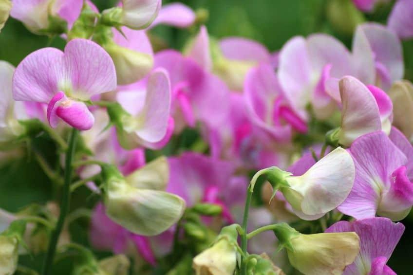 Sweet pea annuals
