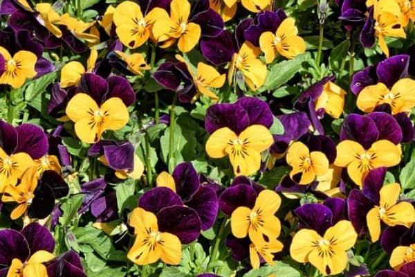 Viola annuals