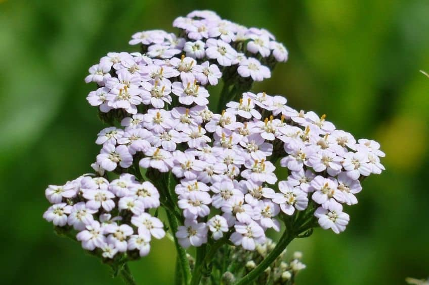 How to grow yarrow