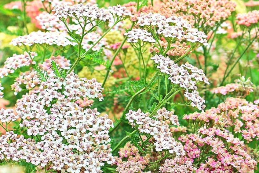 Growing Yarrow