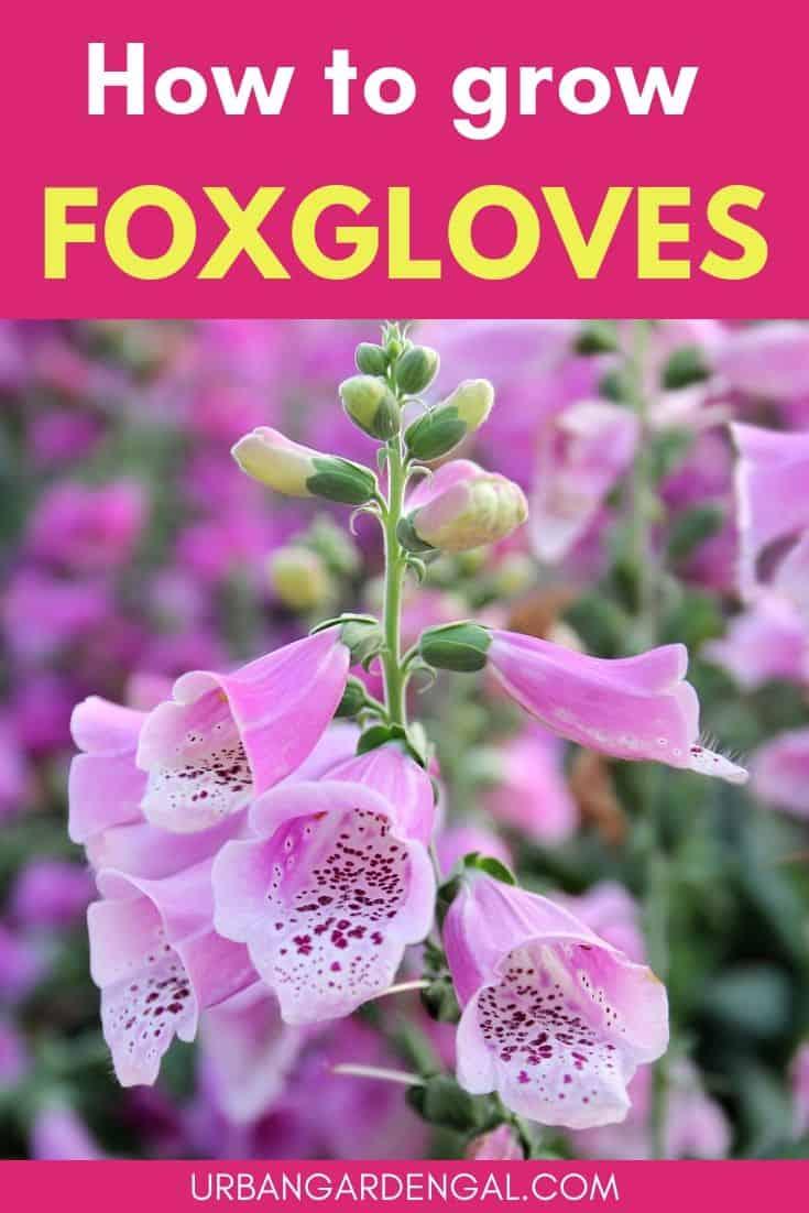 How to grow foxgloves