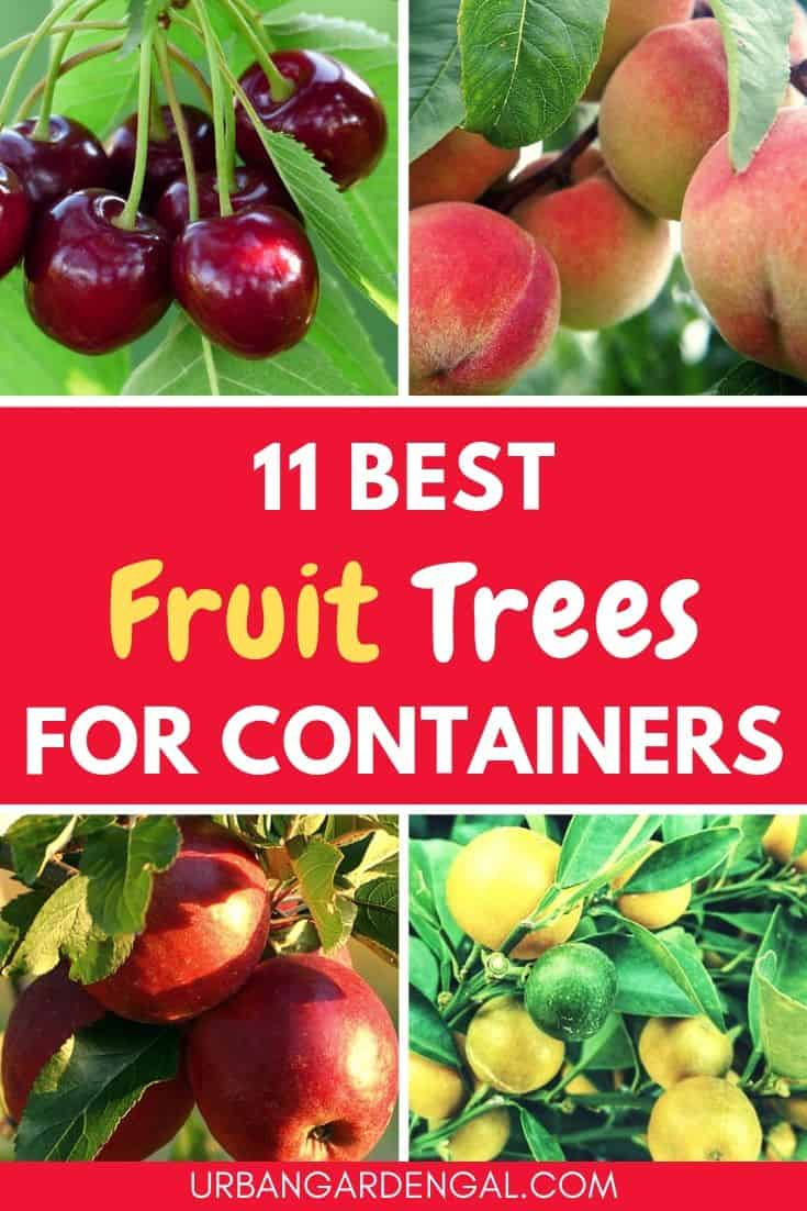 Best fruit trees for containers