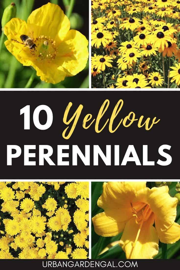 Best yellow perennial flowers