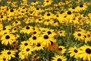 10 Yellow Perennials
