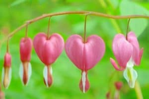 How to Grow Bleeding Heart Flowers