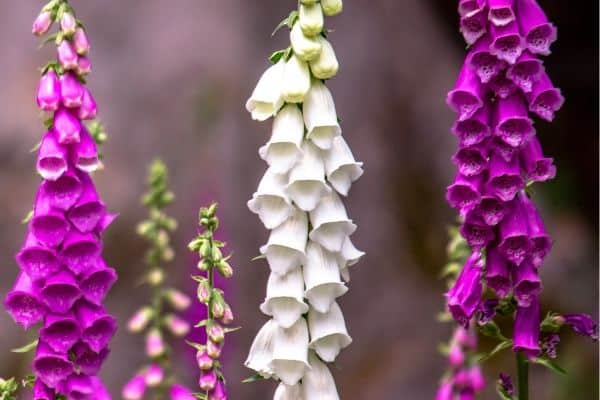 How to grow foxglove flowers
