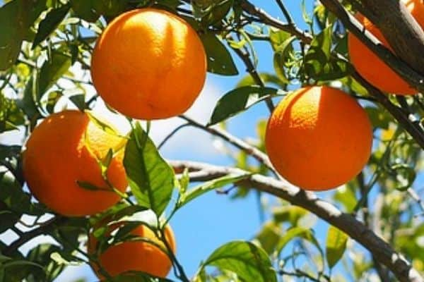 Orange fruit tree