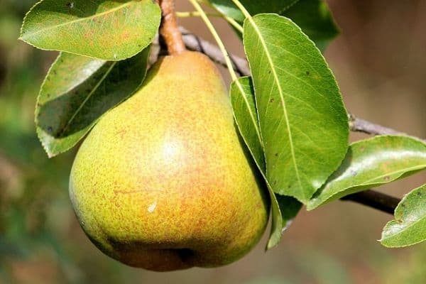 Pear dwarf fruit tree