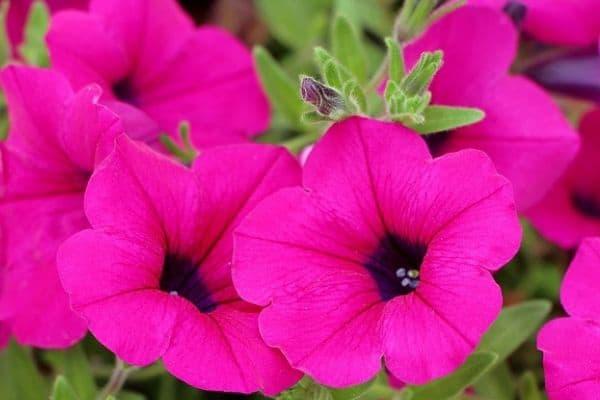 Petunia annual flowers