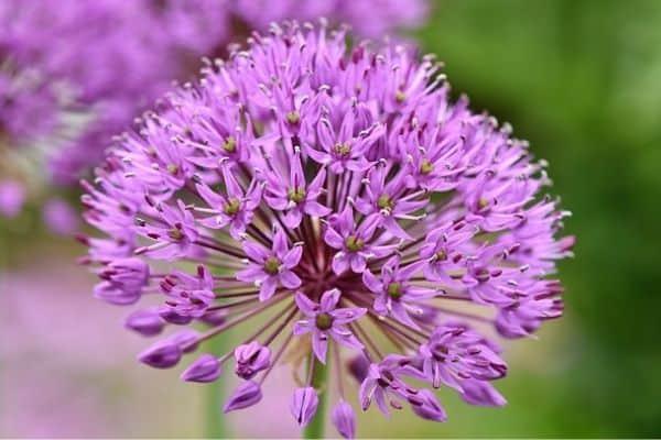 summer flowering perennial