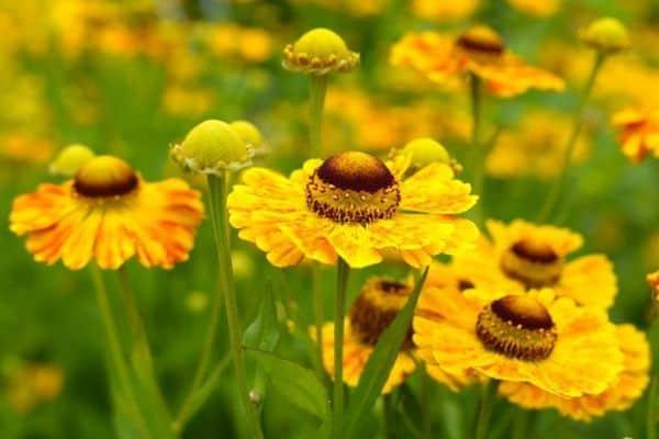 Sneezeweed perennials
