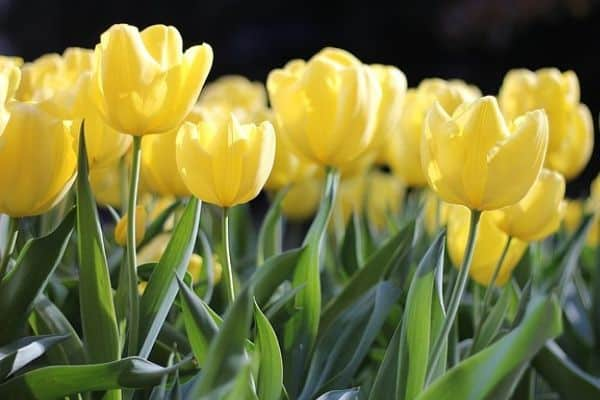 Pastel yellow tulips