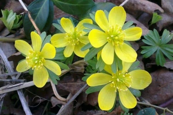 Winter aconite container bulbs