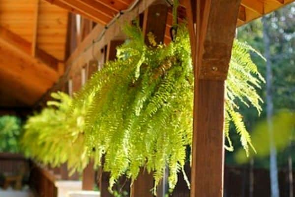 Boston fern hanging from pergola
