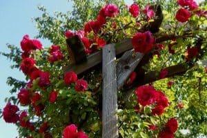 Flowering climbing plants