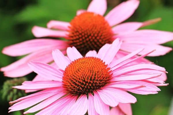 Echinacea growing outdoors