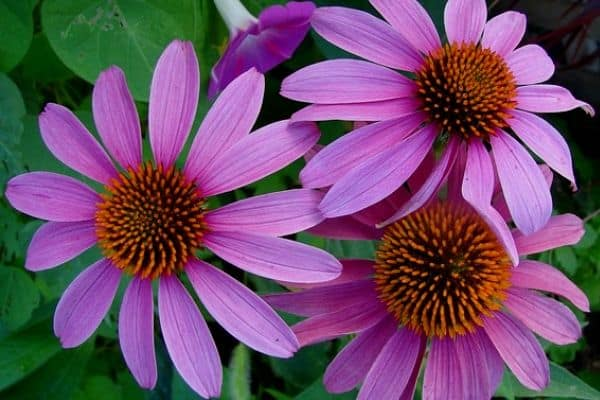 Echinacea growing indoors