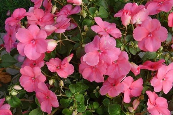 Impatiens flowers