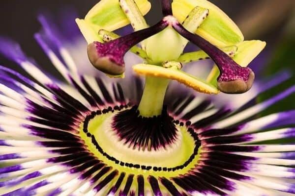 Passion flower bloom
