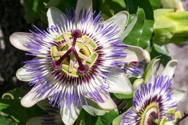 Passionflowers growing in container