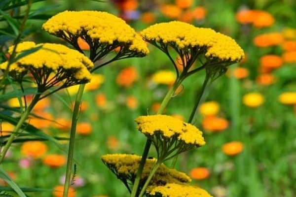 Yellow yarrow flowers