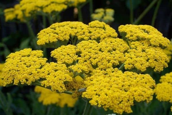Yarrow growing in garden