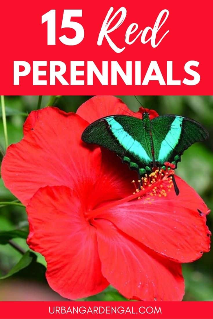 Red perennials