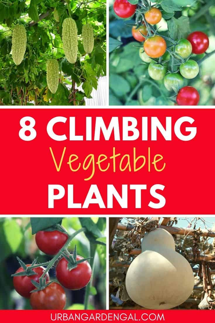 Climbing vegetable plants