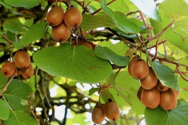kiwi fruit vine