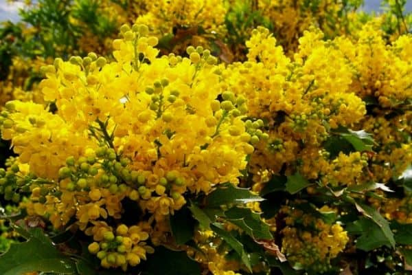10 Yellow Flowering Shrubs
