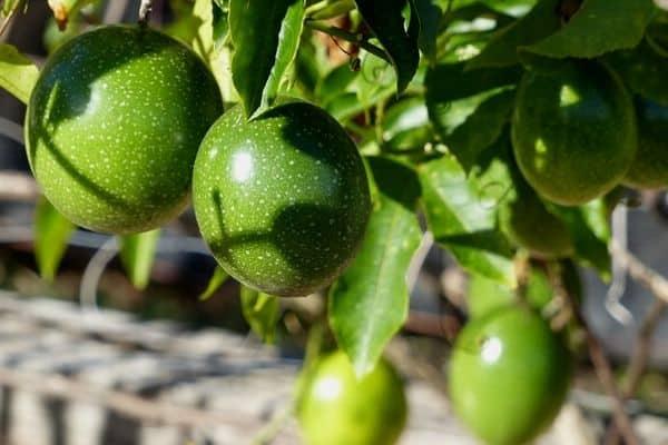 Trellis fruit plants