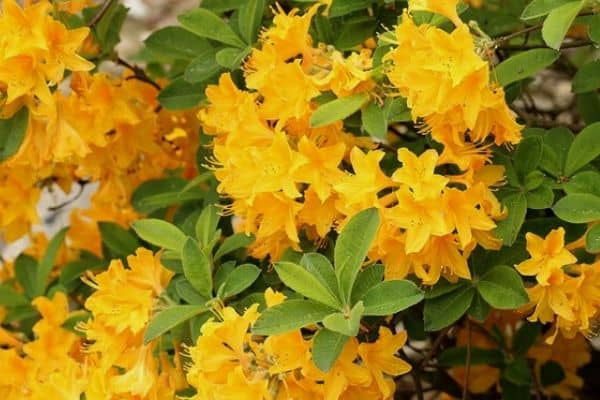 Yellow azalea plants