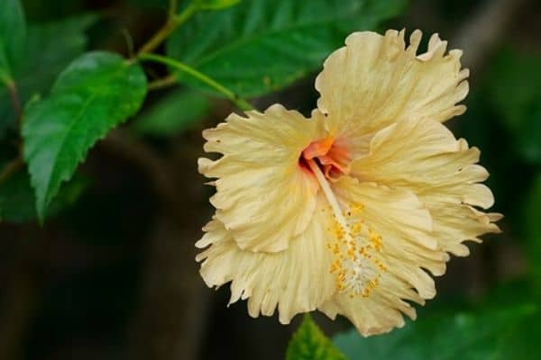 Creamy yellow hibiscus flower