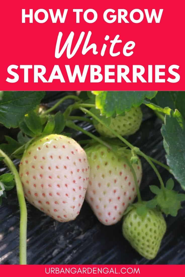 How to grow white strawberries