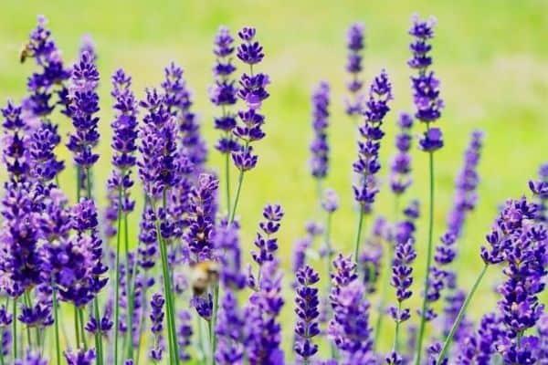 purple lavender bush
