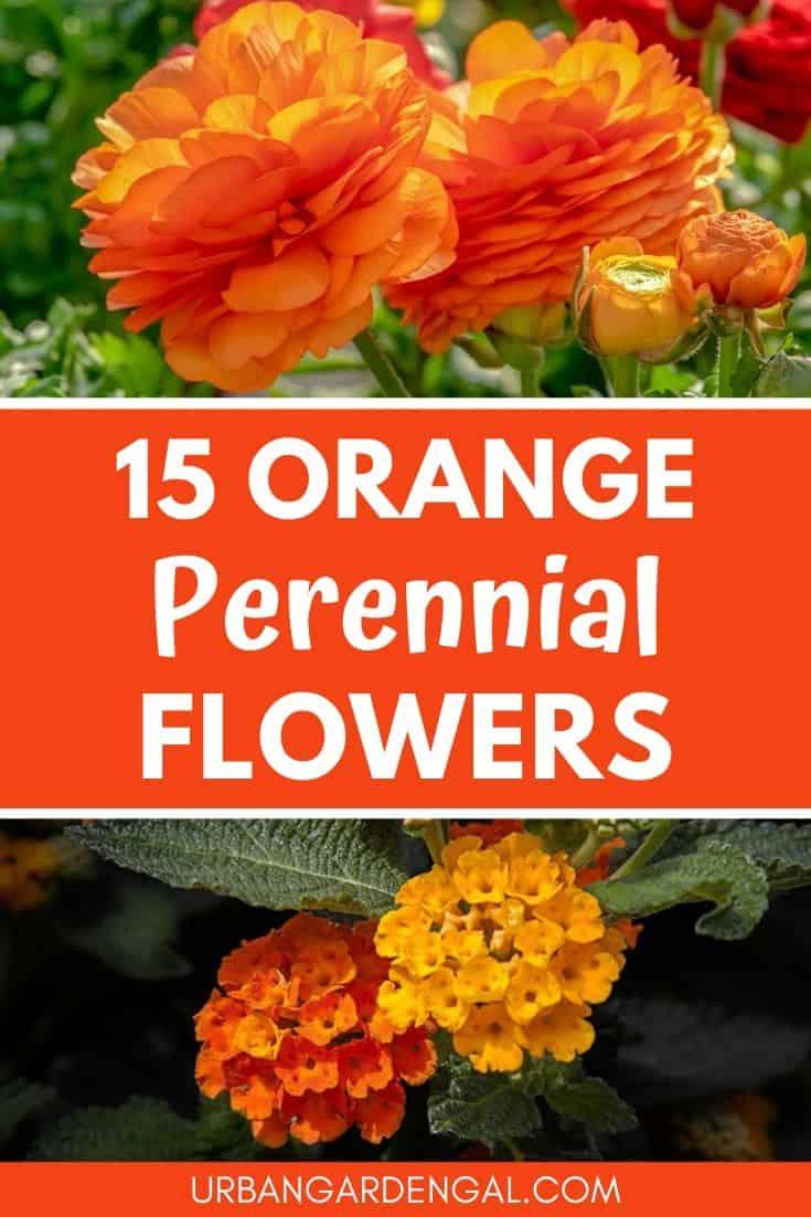 best orange perennial flowers