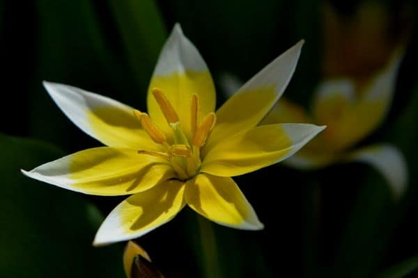 Star tulip flower