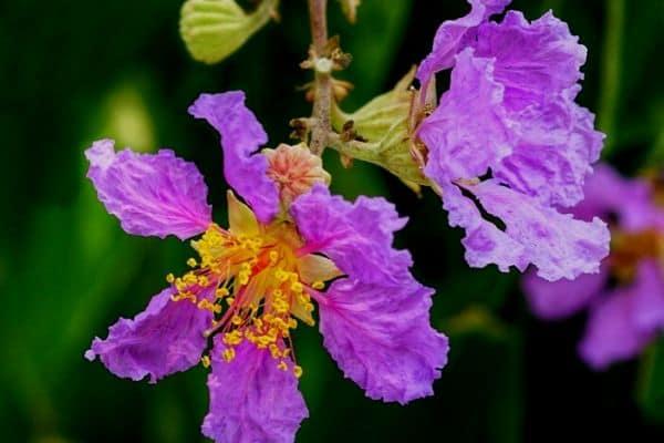 purple crepe myrtle flowers