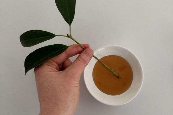 using honey to propagate plants