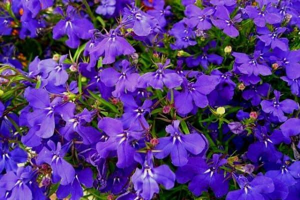 lobelia trailing flowers